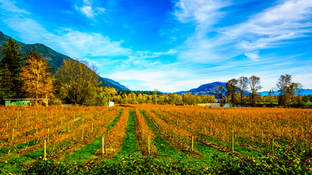 Fall Colors of straight Rows of Blueberry Plants in Farmer Fields in the Fraser Valley of British Columbia Stock Photo