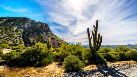 sates: Tall Saguaro Cactus in the Semi Desert landscape of Tonto National Forest in Arizona, United States