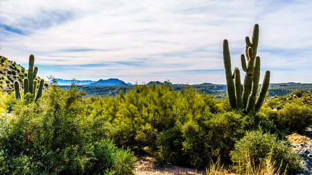 Tall Saguaro Cactus in the Semi Desert landscape of Tonto National Forest in Arizona, United States