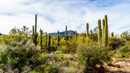 sates: Group of Saguaru cactuses standing in a circle among desert shrubs in the winter desert landscape of Tonto National Forest in Maricopa County, Arizona in the United States of America