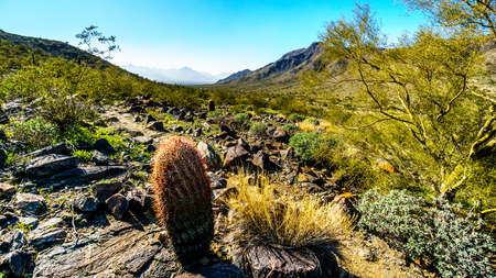 sates: Desert landscape with Saguaro and Barrel Cacti along the Bajada Hiking Trail in the mountains of South Mountain Park in Maricopa County near the city of Phoenix, Arizona, USA Stock Photo