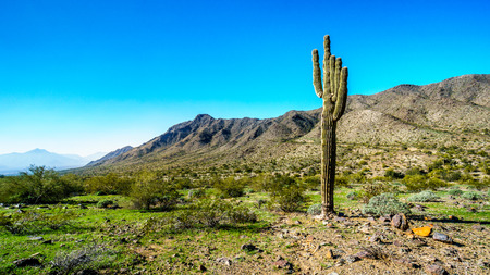 sates: Desert landscape with a large Saguaro Cactus along the Bajada Hiking Trail in the mountains of South Mountain Park in Maricopa County near the city of Phoenix, Arizona, USA