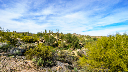 The desert landscape and mountains with its many Saguaro cactuses and other cacti and shrubs along the Bartlett Dam Road in Tonto National Forest in Maricopa County, Arizona in the USA