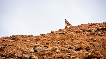 sates: Peregrine Falcon resting on one of the Red Sandstone Buttes in Papago Park Stock Photo