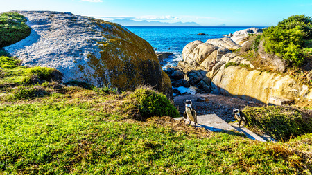 penguins on beach: Penguins at Boulders Beach, a popular nature reserve and home to a colony of African Penguins, in the village of Simons Town in the Cape Peninsula of South Africa
