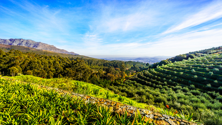 Olive groves and vineyards surrounded by mountains along the Helshoogte Road between the historic towns of Stellenbosch and Franschhoek in the wine region of Western Cape of South Africa Stock Photo