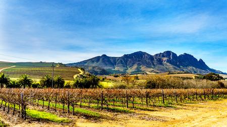 Wijngaarden in het wijngebied van Stellenbosch in de West-Kaap van Zuid-Afrika met Simonsberg op de achtergrond op een mooie Zuid-Afrikaanse winterdag Stockfoto - 84793768