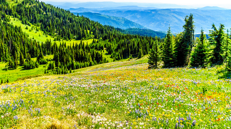 Hiking through the meadows covered in wildflowers in the high alpine near the village of Sun Peaks in the Shuswap Highlands in central British Columbia Canada Stock Photo