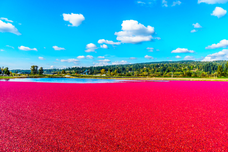 Ripe Cranberries floating in the lagoon during harvest in the Glen Valley area of the Fraser Valley in Southern British Columbia, Canada under blue sk