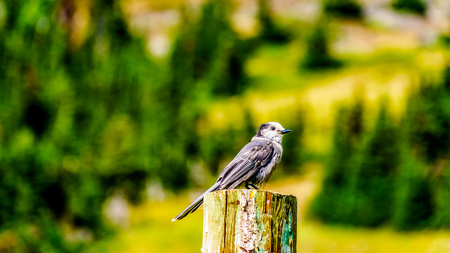 Grey Jay sitting on top of a pole in the high alpine meadows near the village of Sun Peaks, in the Shuswap Highlands in central British Columbia Canada Фото со стока