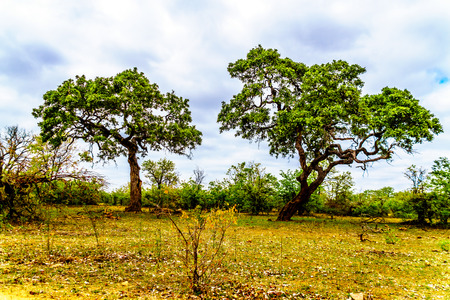 Two tall Mopane Trees near Letaba camp in Kruger National Park in South Africa