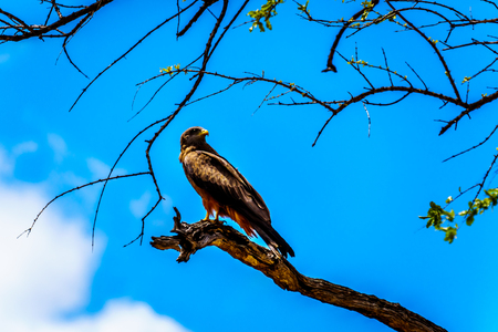 Steppe Buzzard perched on a tree branch in Kruger National Park in South Africa