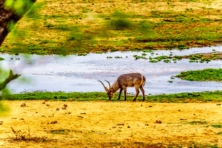 Waterbuck grazing along the Letaba River in Kruger National, Park in South Africa