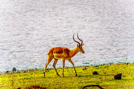 Male Impalas at a watering hole in Kruger National Park in South Africa