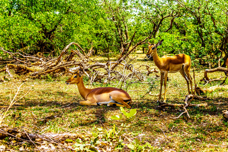 Impalas seeking shade under trees in Kruger National Park in South Africa