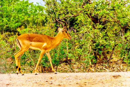 Impala in Kruger National Park in South Africa