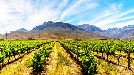 Vineyards in spring in the Boland Wine Region of the Western Cape in South Africa