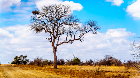 Large Vulture Nests in a bare tree in the drought stricken landscape of Kruger National Park near Letaba Camp in South Africa