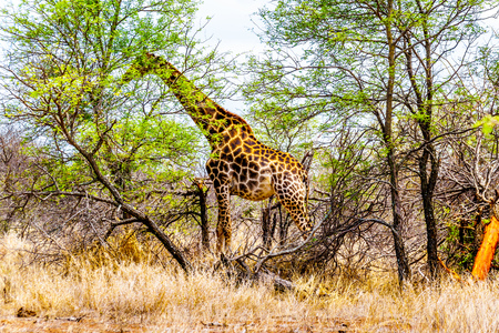 Giraffe eating the leafs of the few green trees in the drought stricken savanna area of central Kruger National Park in South Africa