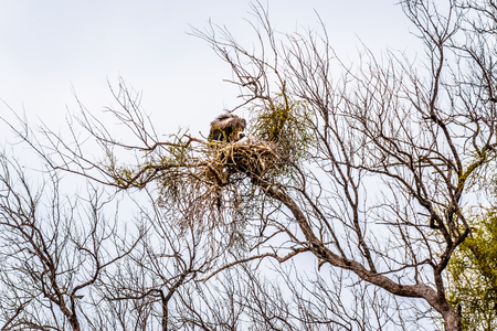 Large White-Backed Vulture sitting on its nest in South Africas Kruger National Park