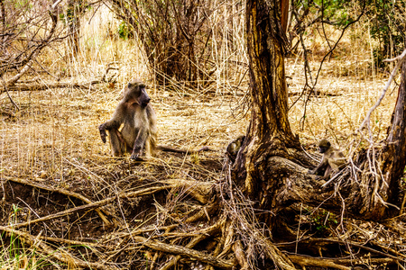 Large Male Baboon with Young Baboons in drought stricken area of central Kruger National Park in South Africa Фото со стока