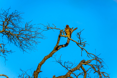 Buzzard perched on a tree branch in Kruger National Park in South Africa Stock Photo