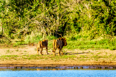 After drinking water from the the Nkaya Pan Watering Hole in Kruger Park South Africa a Male and Female Lion heading back into the forest