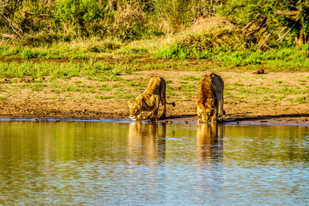 One Male and one Female Lions drinking at sunrise at the Nkaya Pan Watering Hole in Kruger Park South Africa Imagens