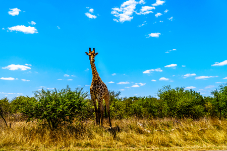 Large male giraffe under blue sky in Kruger Park in South Africa