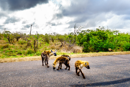 Hyena family crossing a road in Kruger National Park in South Africa Stock Photo