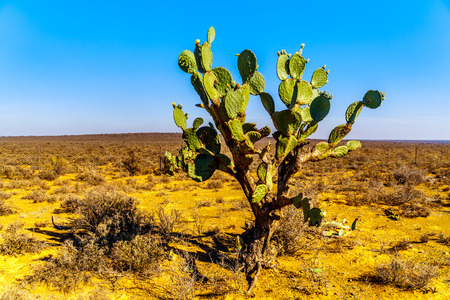 Old Prickly Pear Cactus in the semi desert Karoo Region of South Africa
