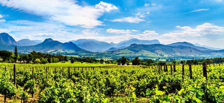 Vineyards of the Cape Winelands in the Franschhoek Valley in the Western Cape of South Africa, amidst the surrounding Drakenstein mountains