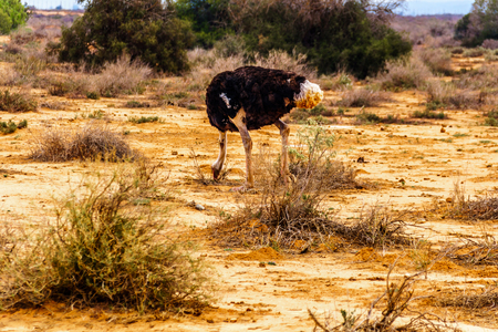 Male Ostrich eating of the ground at an Ostrich Farm in Oudtshoorn in the semi desert Little Karoo Region Western Cape Province of South Africa