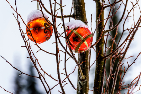 Melting Snow covering Red Christmas decoration that are hanging on tree branches in winter Stock Photo