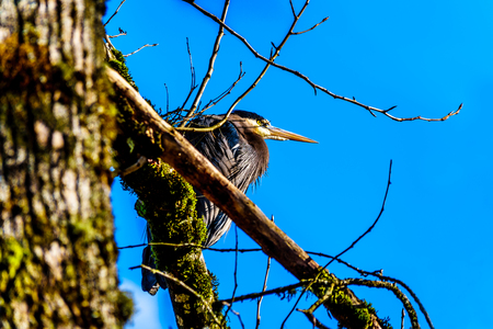 Young Great Blue Heron sitting on tree branch in Pitt-Addington Marsh at Pitt Lake near Maple Ridge in the Fraser Valley of British Columbia, Canada Stock Photo