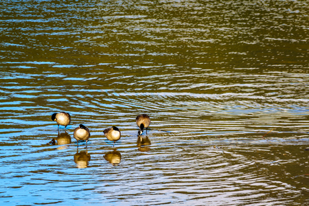 Flock of Canada Geese at Pitt Lake near the town of Maple Ridge in the Fraser Valley of British Columbia, Canada