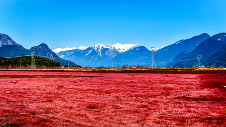 Red colored Cranberry fields near Pitt Meadows with the Snow Capped Peaks of the Golden Ears, Tingle Peak and other Mountain Peaks of the Coast Mountains in the Fraser Valley of British Columbia Reklamní fotografie
