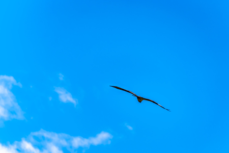 Osprey or Fish Hawk circling its nest under blue sky, along the Coldwater Road near Merritt, British Columbia Canada