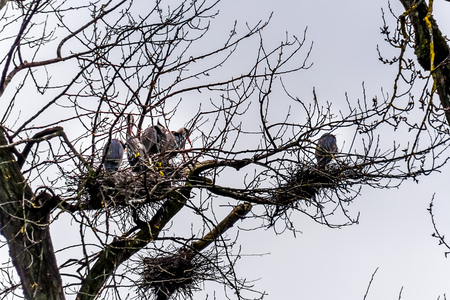 Colony of Great Blue Herons sitting on their nests in trees at the Great Blue Heron Reserve near Chilliwack, British Columbia, Canada