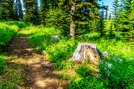 Old Tree Stump along a hiking trail on Tod Mountain near the alpine village of Sun Peaks in the Shuswap Highlands of the central Okanagen in British Columbia, Canada Фото со стока
