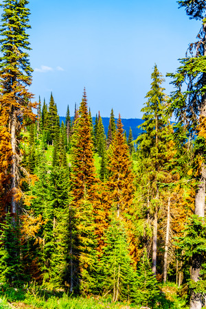 Red, dying Pine Trees due to Pine Beetle attacks on Tod Mountain near the alpine village of Sun Peaks in the Shuswap Highlands of the central Okanagen in British Columbia, Canada Banco de Imagens