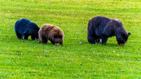 Black Bears with a thick fur feeding in a field in early winter prior to going into hibernation in Wells Grey Provincial Park in British Columbia, Canada Stock Photo