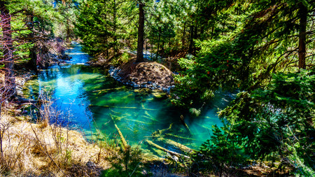 The clear waters of a salmon spawning channel on Cayoosh Creek between Seton Lake and the Fraser River in British Columbia, Canada
