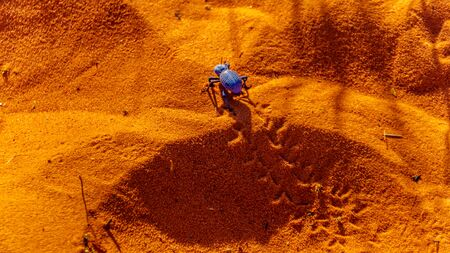 Blue death-feigning beetle crawling though the red desert sand of the Valley of Fire State Park in Nevada, USA Stockfoto