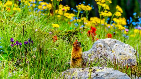 A Columbian ground squirrel among the Wildflowers in the high Alpine of Tod Mountain in the Shuswap Highlands of British Columbia, Canada Standard-Bild - 133533755
