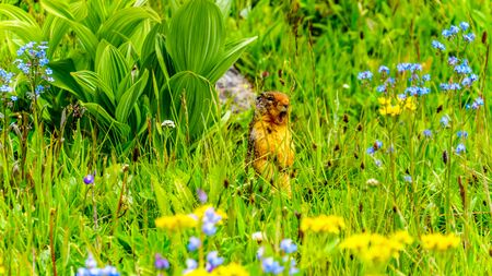 A Columbian ground squirrel among the Wildflowers in the high Alpine of Tod Mountain in the Shuswap Highlands of British Columbia, Canada Standard-Bild - 133533942