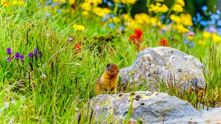 A Columbian ground squirrel among the Wildflowers in the high Alpine of Tod Mountain in the Shuswap Highlands of British Columbia, Canada Standard-Bild - 133533950