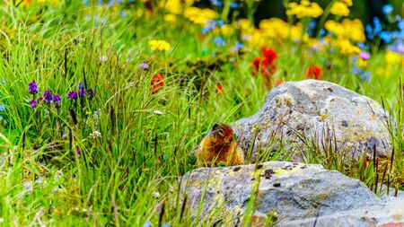 A Columbian ground squirrel among the Wildflowers in the high Alpine of Tod Mountain in the Shuswap Highlands of British Columbia, Canada Standard-Bild - 133534259