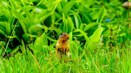 A Columbian ground squirrel among the Wildflowers in the high Alpine of Tod Mountain in the Shuswap Highlands of British Columbia, Canada