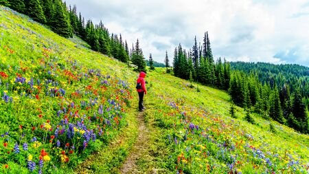 Senior Woman hiking through the alpine meadows filled with abundant wildflowers on Tod Mountain at the alpine village of Sun Peaks in the Shuswap Highlands of the Okanagen region in British Columbia, Canada 스톡 콘텐츠 - 133534276